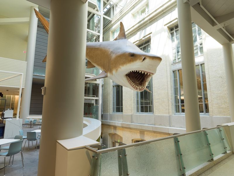 Megalodon may be extinct, but there's a life-size one at the