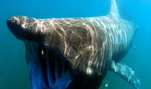 Massive Gathering of Mysterious Basking Sharks Found in Aerial Photos