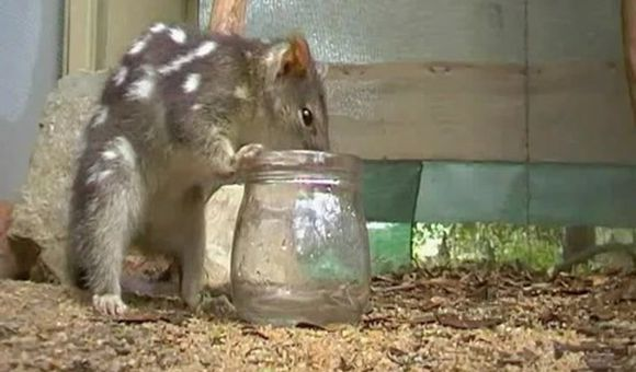 Preview thumbnail for video'Keeping the Northern Quoll Alive