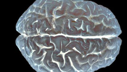 Humans Evolved Big Brains to Be Social?