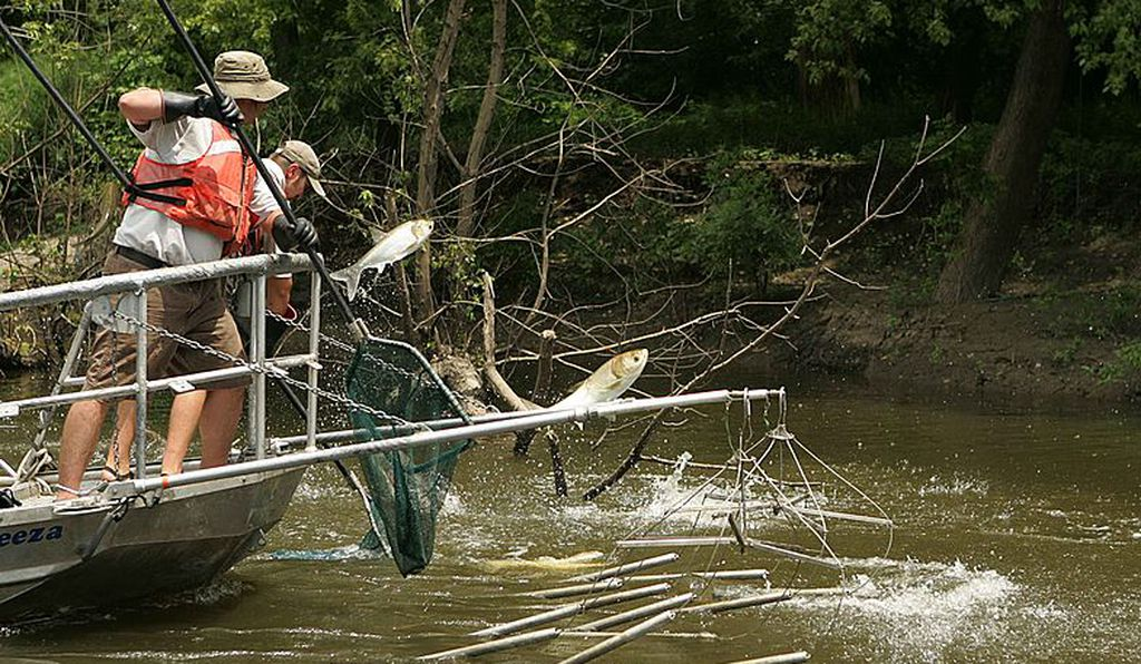 Fishers use electrofishing to stun and capture Asian carp, a non-native species that threatens the Great Lakes.