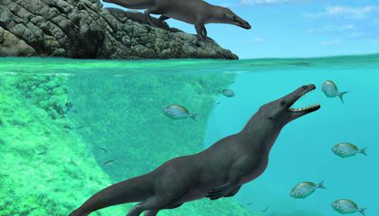How Did Whales Reach the Americas? A Four-Legged Fossil Offers New Clues