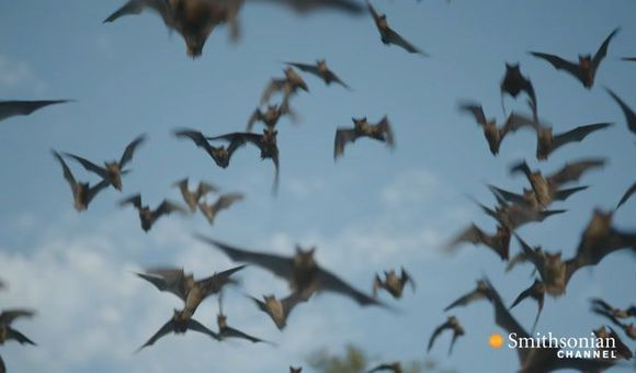 Preview thumbnail for video'Why Bats Are Better Than Humans at Dealing With Viruses