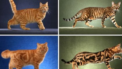 Same Gene Guides Cheetah and Tabby Cat Coat Patterns