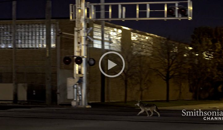 Chicago's Urban Coyotes Are Fascinating Scientists