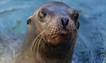 Major Disease Outbreak Strikes California Sea Lions