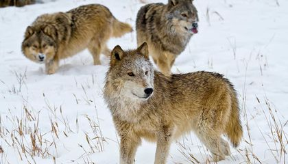 These Non-Lethal Methods Encouraged by Science Can Keep Wolves From Killing Livestock