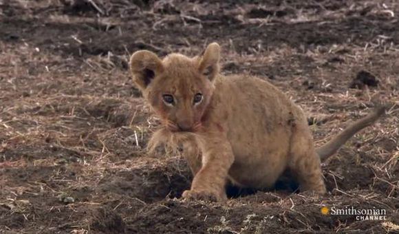 Preview thumbnail for video'Two Lion Cubs Get a Lesson in Sharing