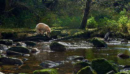 A Historic Conservation Agreement Will Protect Canada's Great Bear Rainforest