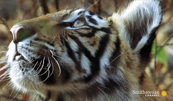 Preview thumbnail for video'Mother Tiger Makes Speedy Kill to Feed Cubs