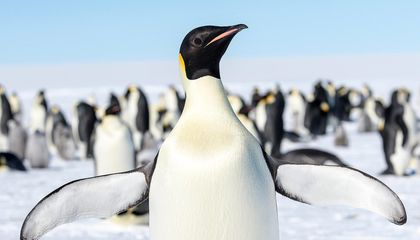 Climate Change Poised to Push Emperor Penguins to the Brink of Extinction