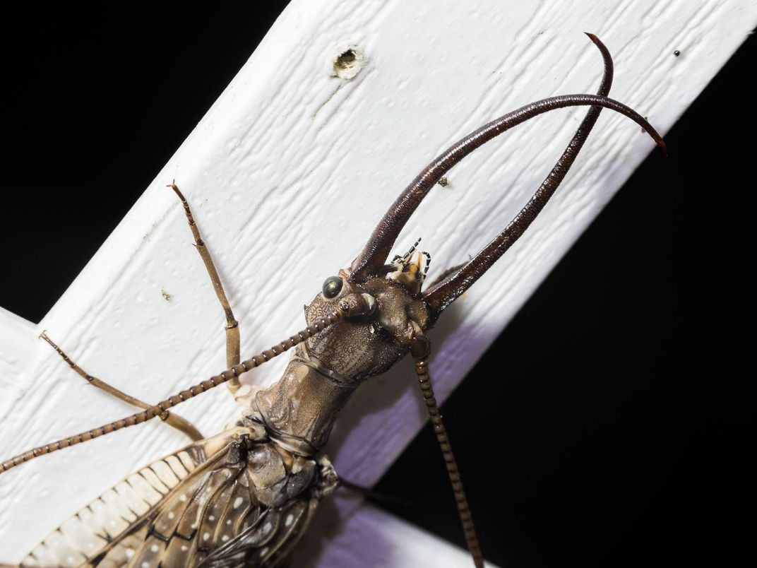 Dobsonfly_32