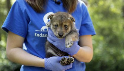 Image: Wolf pup offers new hope