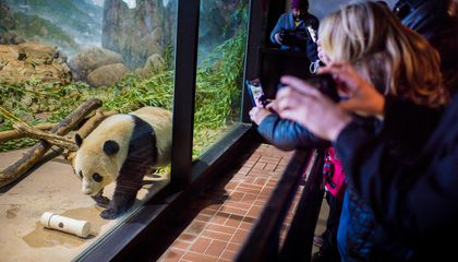 Poignant Panda Moments in These Last Photos of Bao Bao