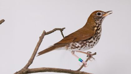 One of the common species Bird House keepers at the Smithsonian's National Zoo are working to better understand is the wood thrush — the official bird of Washington, D.C.
