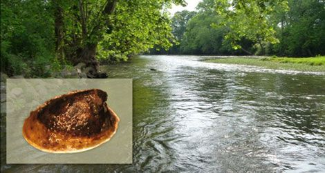 A population of the wicker ancylid limpet (insert, not to scale) was found recently in Choccolocco Creek in Alabama.