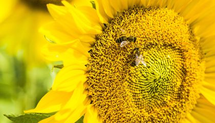 Honey Bees Can Do Simple Math, After a Little Schooling