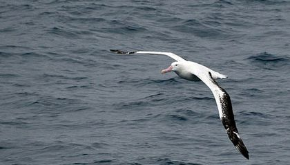 The Wandering Albatross and Global Warming