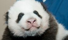 Panda Cub at the Smithsonian National Zoo