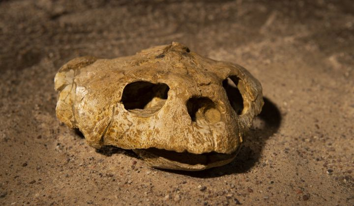 """A fossil sea turtle skull excavated from Angola's coastal cliffs. A cast of this fossil will be featured in """"Sea Monsters Unearthed,"""" opening November 9 at the Smithsonian's National Museum of Natural History. (Hillsman S. Jackson, Southern Methodist University)"""