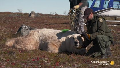 A Polar Bear Released Back Into the Wild by Helicopter
