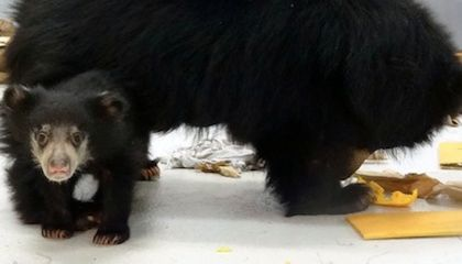 UPDATE: Sloth Bear Cub Has a New Name