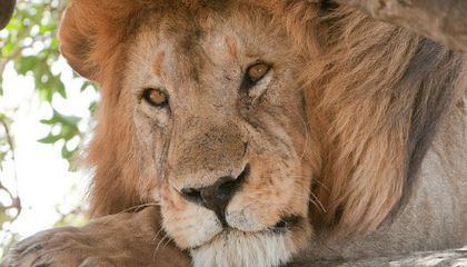 Lions Are Disappearing From Africa