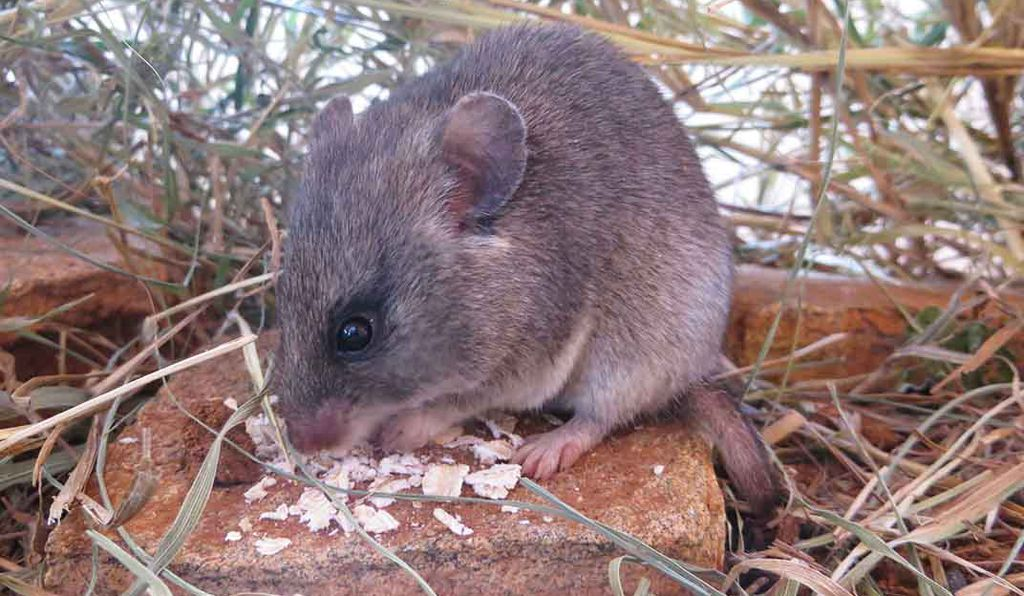 The researchers collected 832 rodents from 11 species, but the Mearns's pouched mouse (<em>Saccostomus mearnsi</em>) was by far the most common.