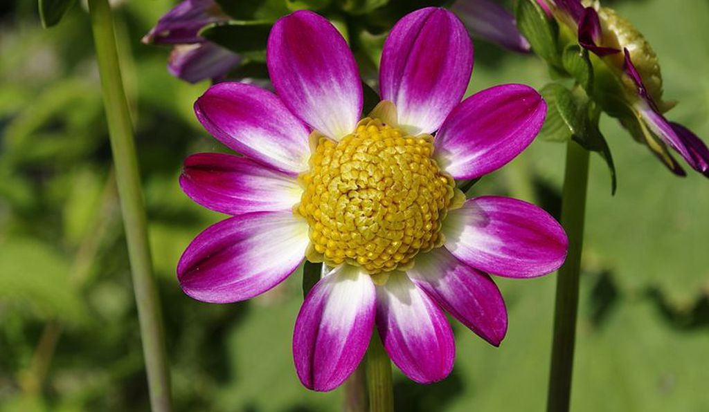 Be sure to plant late-blooming flowers like dahlias to get as much bang out of the gardening year as you can.