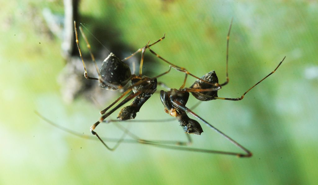 Suspended upside-down from a strand of silk, the male of species <i>Eriauchenius workmani</i> (right) slowly approaches the female (left) to mate. As he approaches, he makes sounds by quickly vibrating his pedipalps (a small, modified pair of legs) to court the female. She answers back by vibrating her pedipalps.