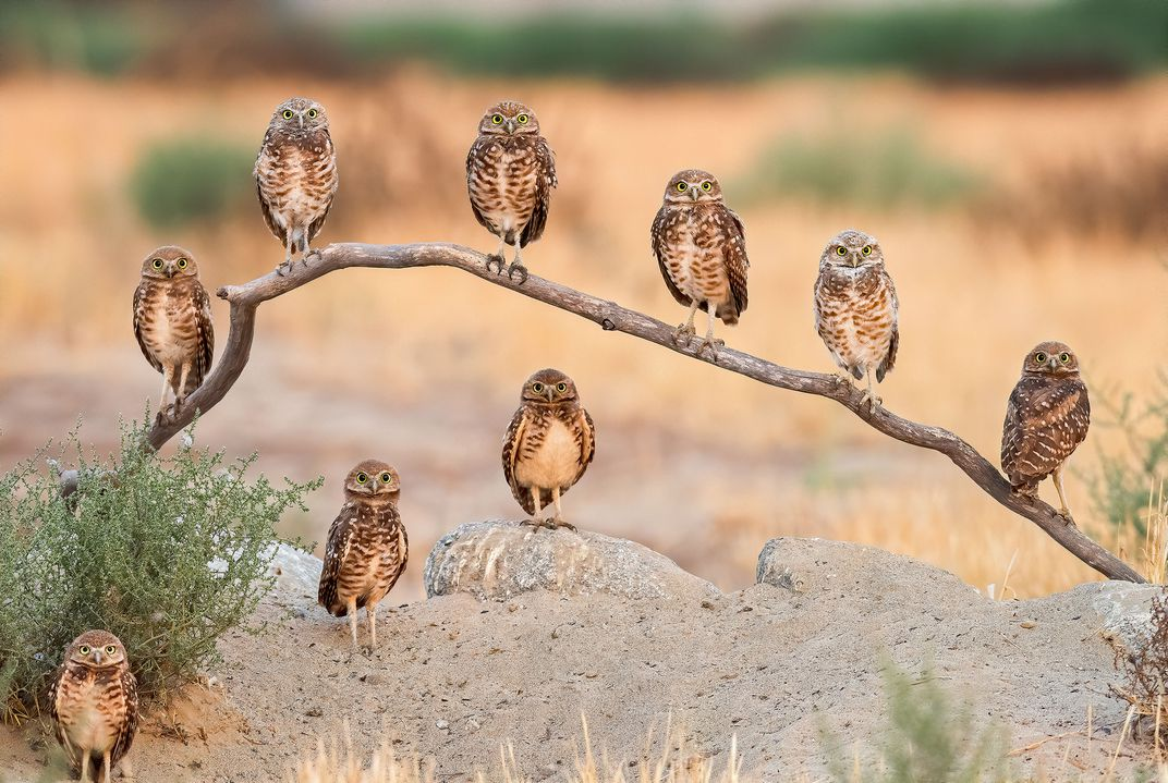 A family of burrowing owls all look at the photographer at once