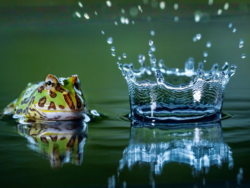 "South American horned frogs are also referred to as ""Pacman"" frogs due to their wide bodies and large mouths – resembling video game character Pac-Man. This is a specimen in the water as a drop of water falls from a leaf above."