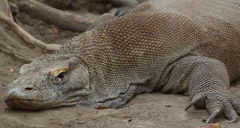 The Most Infamous Komodo Dragon Attacks of the Past 10 Years