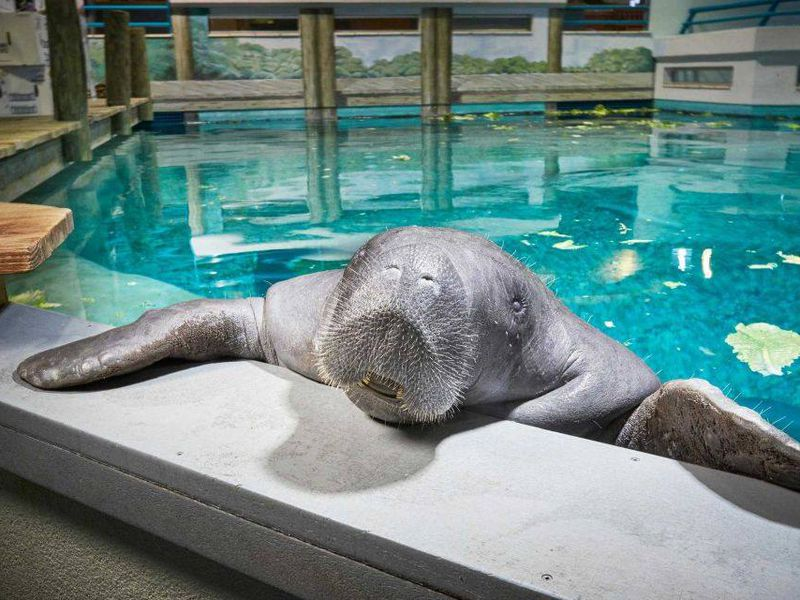 snooty world s oldest captive manatee dies in accident smart