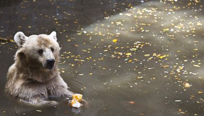 Meet the Bear Who Earned the Rank of Corporal in the Polish Army