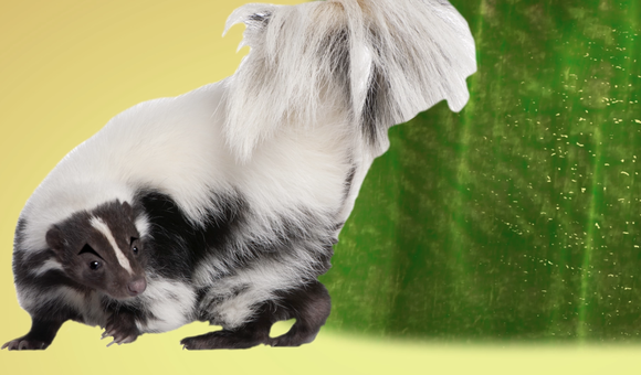 Preview thumbnail for video'Ask Smithsonian: What Makes Skunk Spray Smell So Terrible?