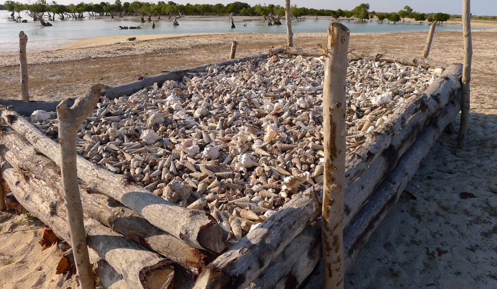 A mangrove-wood kiln holds seashells that will be baked into valuable lime.