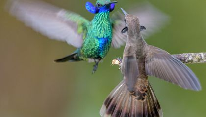 Some Hummingbirds Evolved Bills That Make Them Better at Fighting—but Worse at Feeding