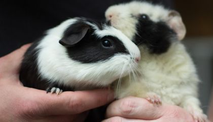 Neural Network Generates Adorable Names for Rescue Guinea Pigs