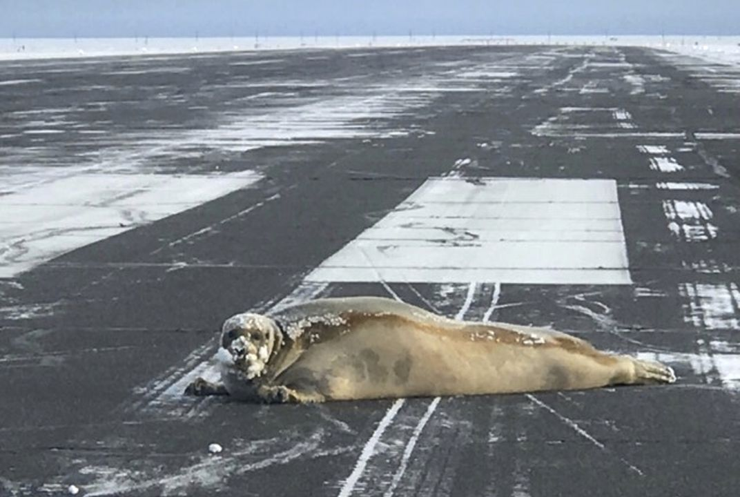 Seal removed from airport runway in northern Alaska