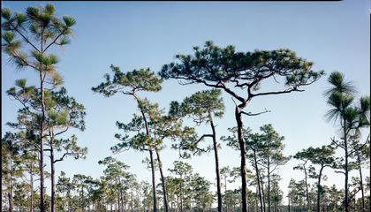 Photos Document the Last Remaining Old-Growth Pine Forests of the American South