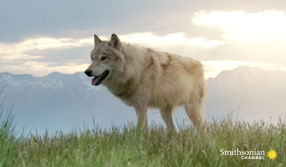 Preview thumbnail for video'Why Elk Calves Are Undetectable to Yellowstone's Wolves