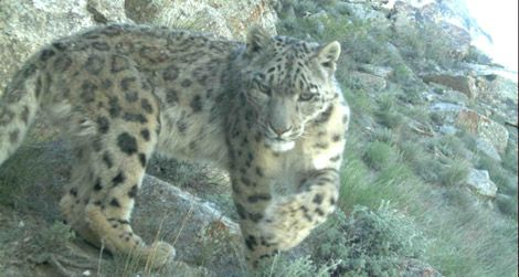 A snow leopard caught in a camera trap in Afghanistan
