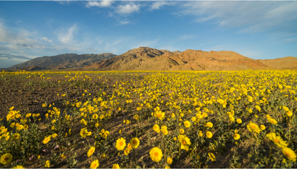 """Death Valley Bursts to Life With Rare """"Super Bloom"""""""