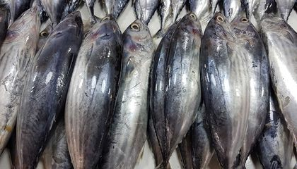 How Will Commercial Fishing Pressure Affect Skipjack Tuna?