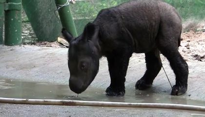 Adorable, Critically Endangered Baby Sumatran Rhino Born