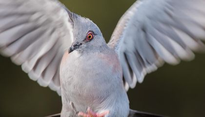 Australian Pigeons Have a Specially Evolved Feather to Better Annoy the Heck Out of You With