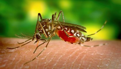 Genes Make Some People More Attractive to Mosquitoes