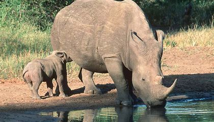 In Vietnam, Rhino Horn is the Drug of Choice at both Parties and Hospitals