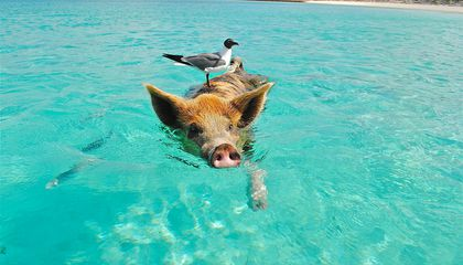 Not Just Dolphins: Where to Swim With Pigs, Penguins and the Gentlest of Sharks
